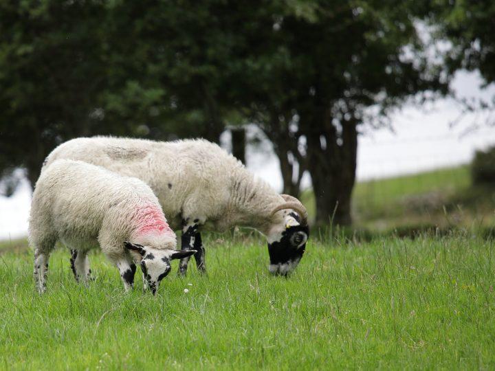 'Love Lamb Week' Raises Awareness