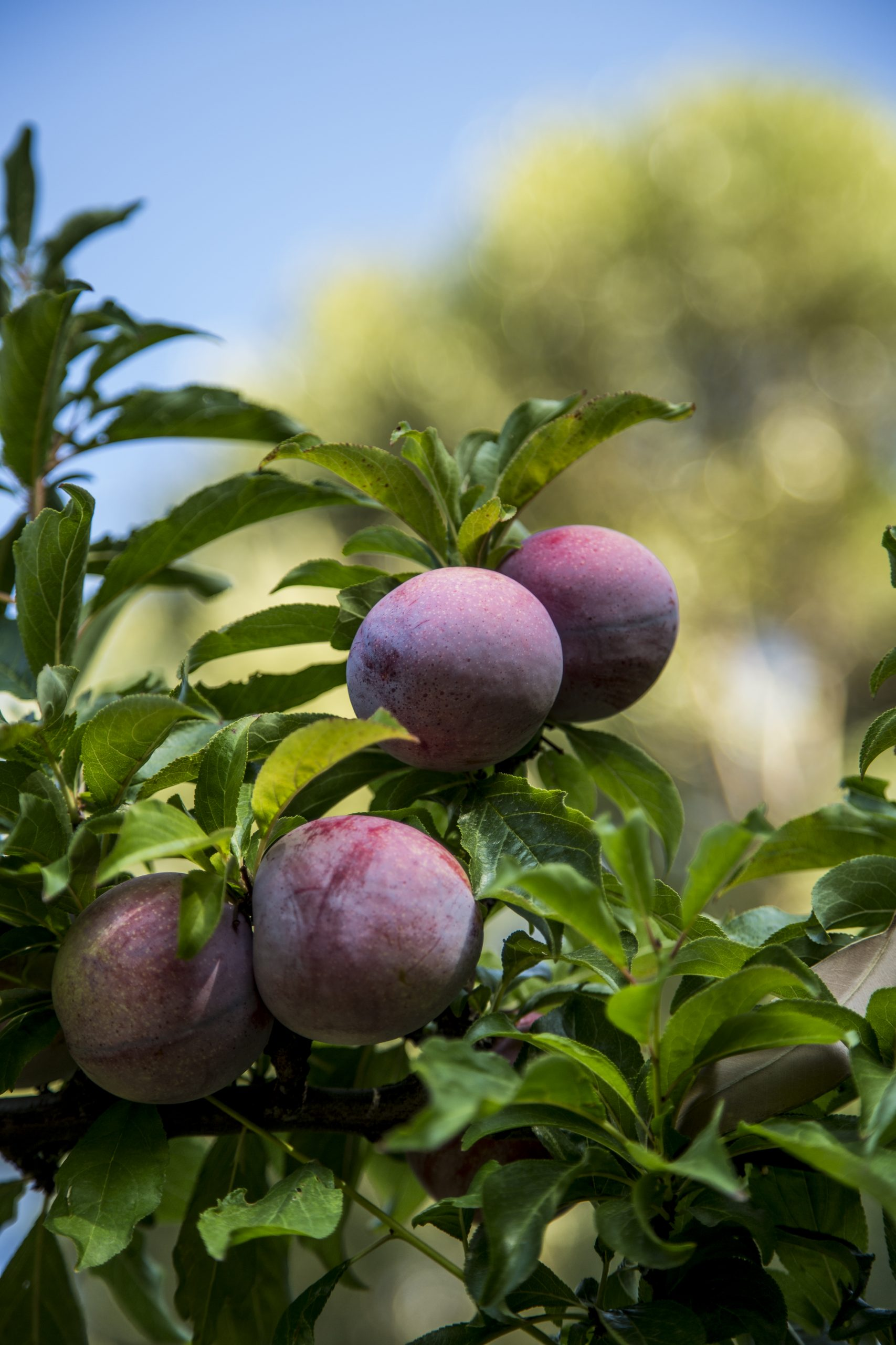 'Beautiful Country, Beautiful Fruit' – Spotlight on South Africa's Stone Fruit Campaign in UK market