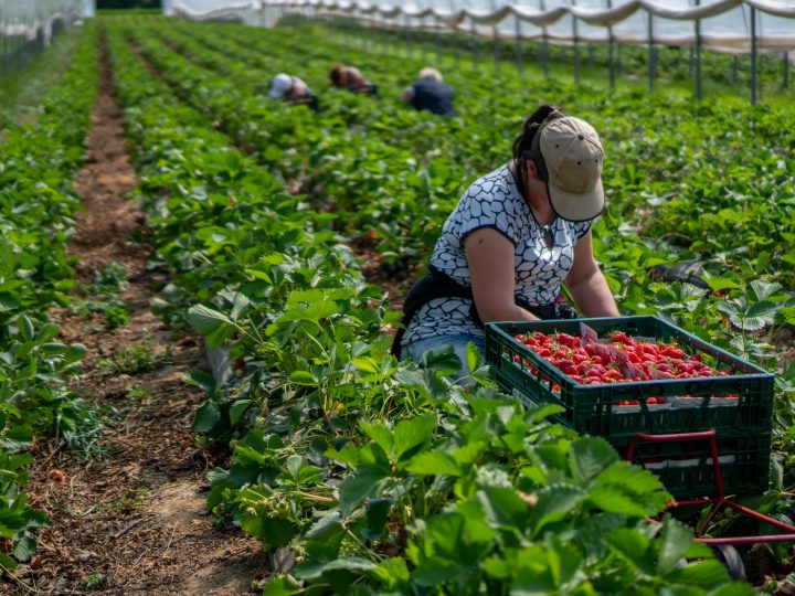 Harvest time heartache – sourcing seasonal workers hit by Covid
